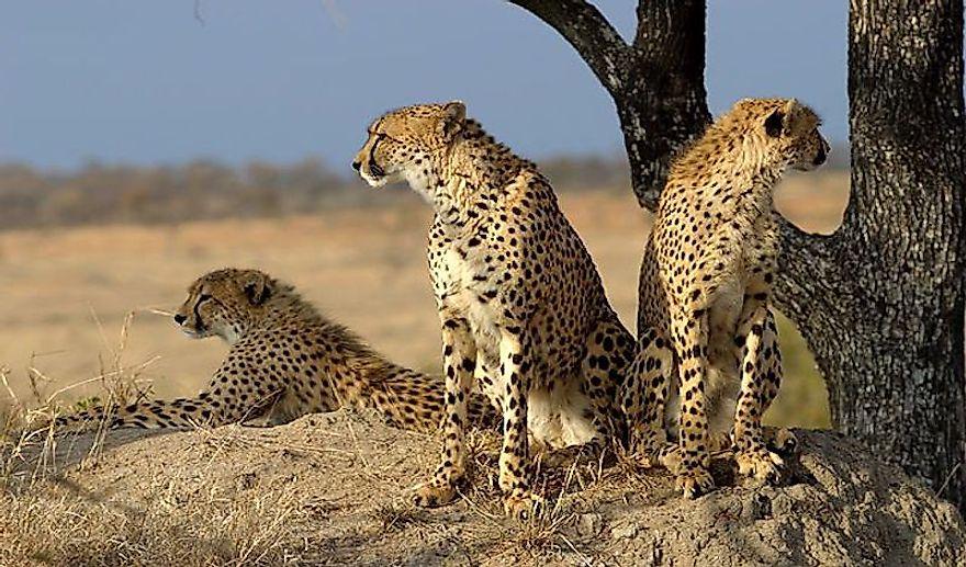 #2 Saharan Cheetah