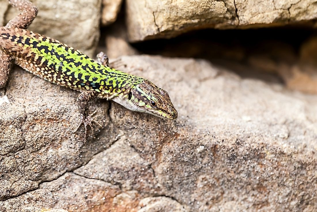 The Sicilian wall lizard is found on the Italian island of Sicily.