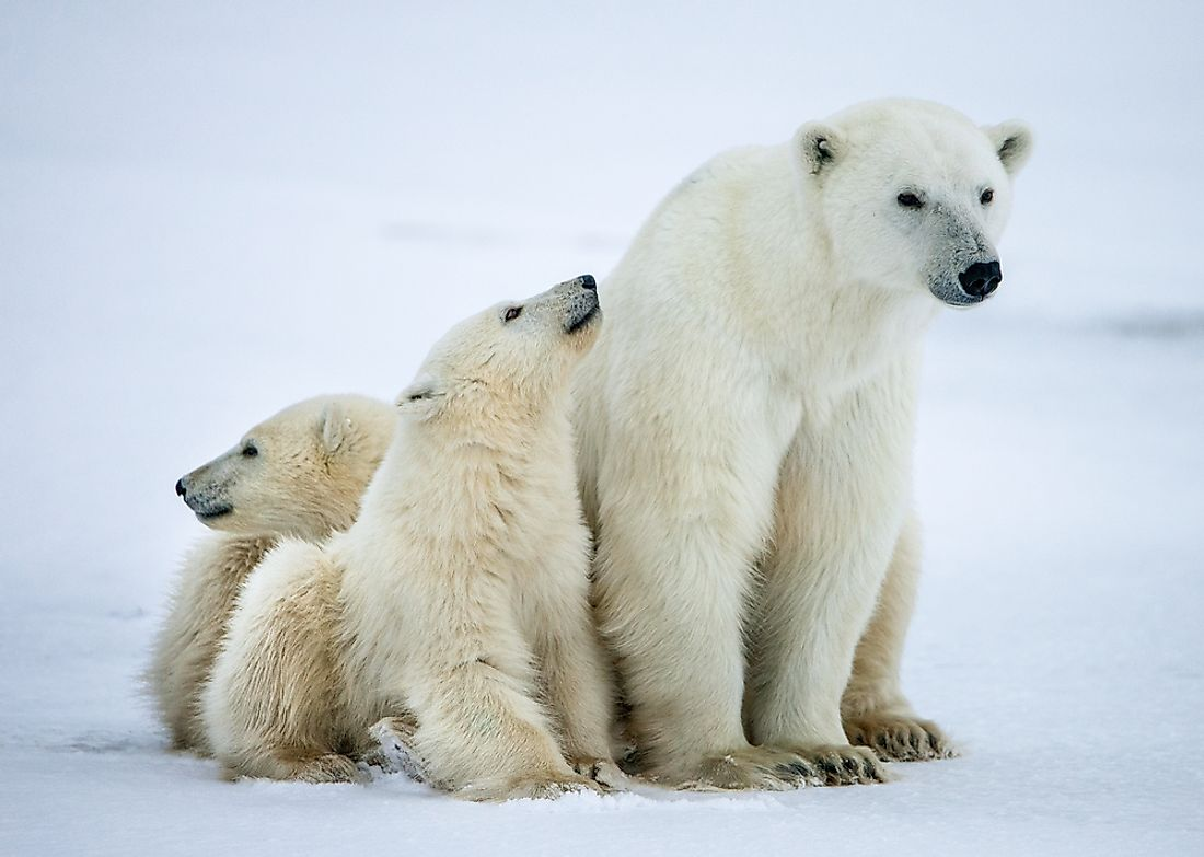 Female polar bear with her cubs in northern Canada.