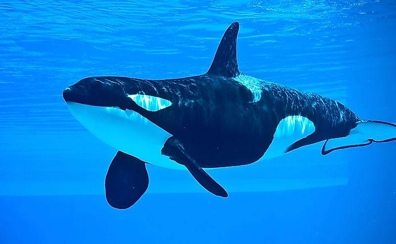 A killer whale, an apex predator in its ecosystem.