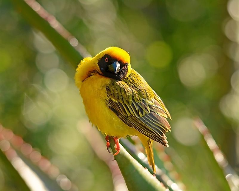 The endangered Clarke's Weaver.