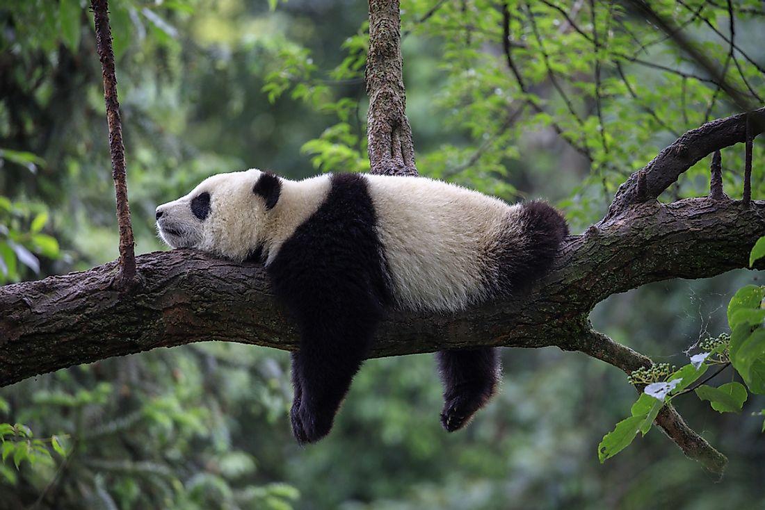 Where Do Pandas Live? - WorldAtlas