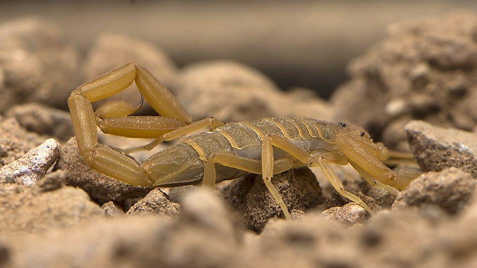 #10 Arizona Bark Scorpion