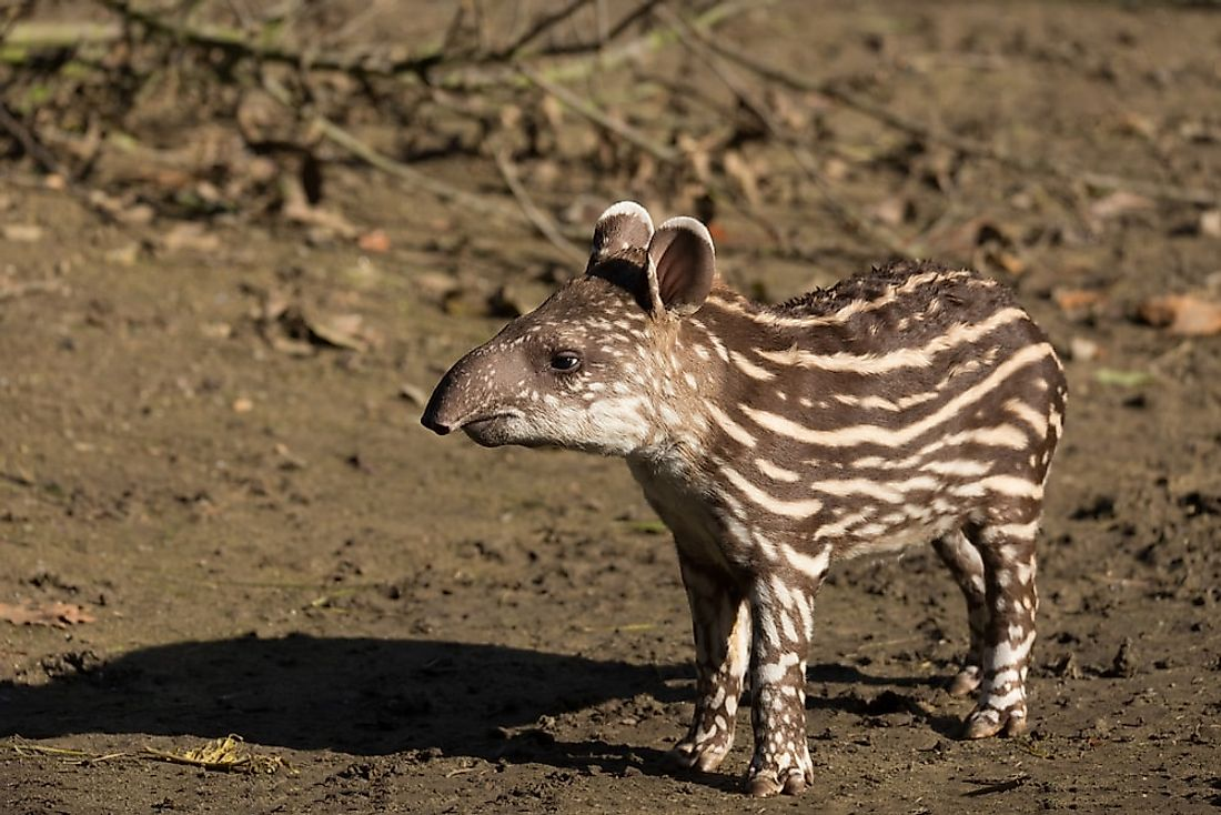 An infant tapir in South America.