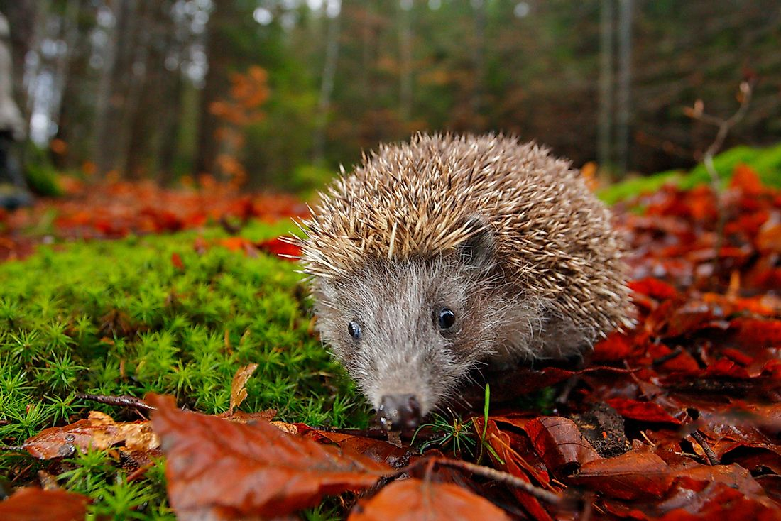 European hedgehogs thrive in grasslands, woodlands, and meadows.