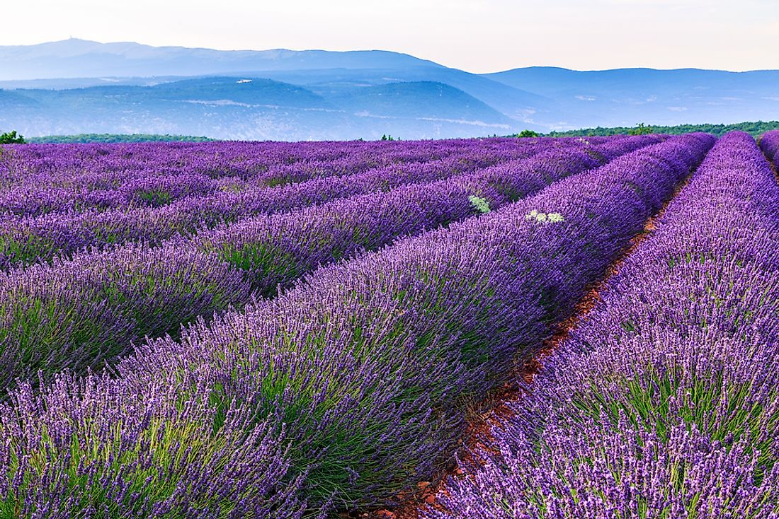 During lavender season, the majestic lavender fields of Provence are covered in purple blossoms.