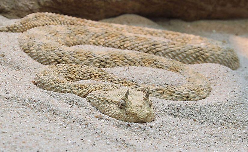 #13 Sand Viper