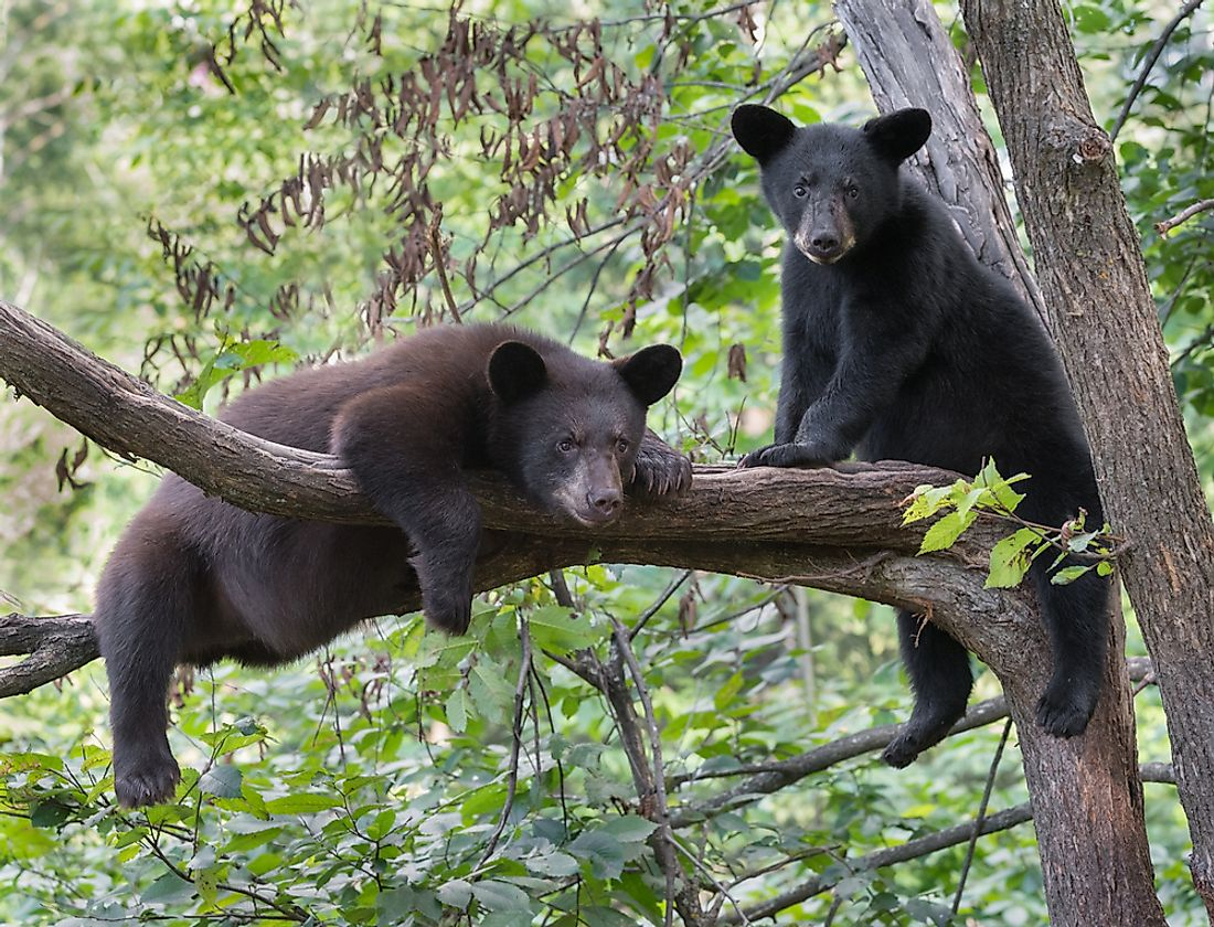 Black bear cubs in a tree.