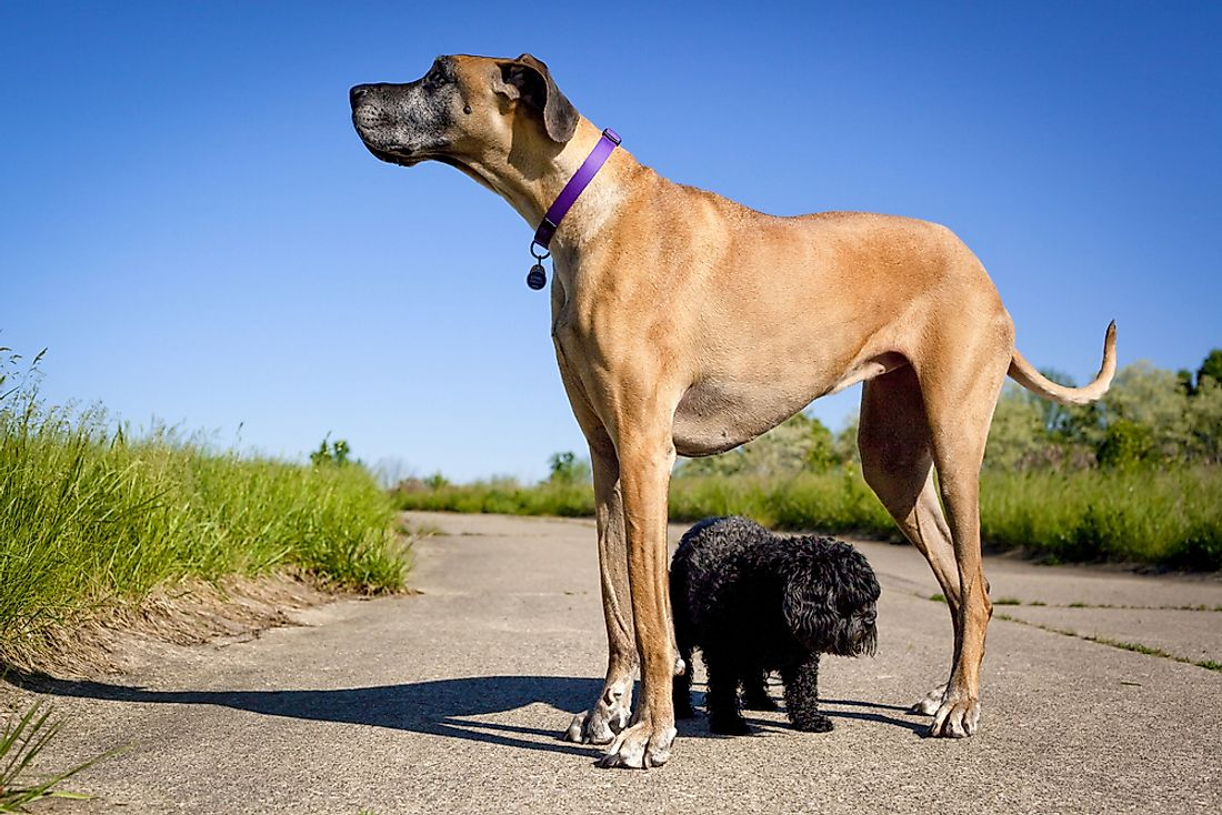 Great Danes are one of the tallest breeds of dogs.