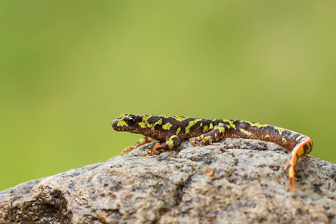 The marbled newt is found throughout Europe, including in France.