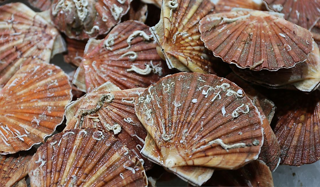 Scallops are fished and exported in large quantities.