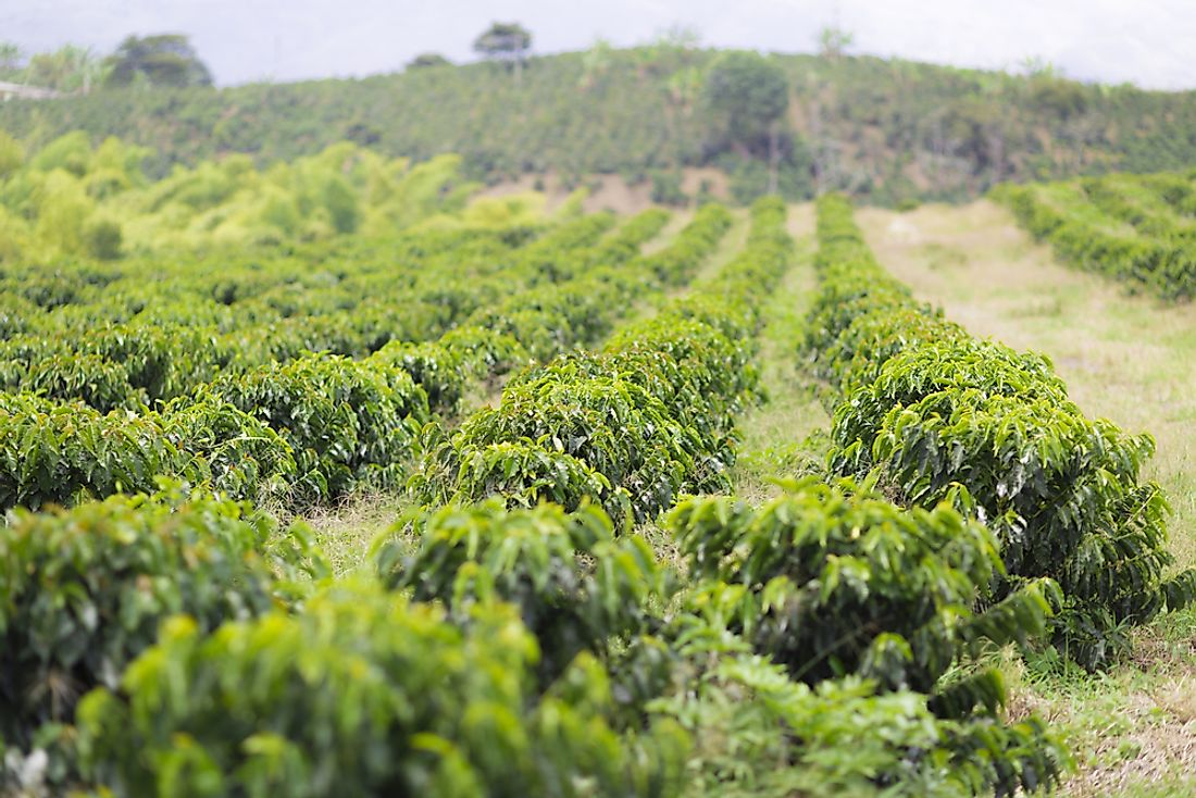 A farming growing coffee in Honduras. Agriculture is an important part of the Honduran economy.