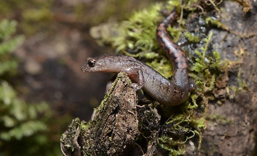 An Oak Forest Salamander.