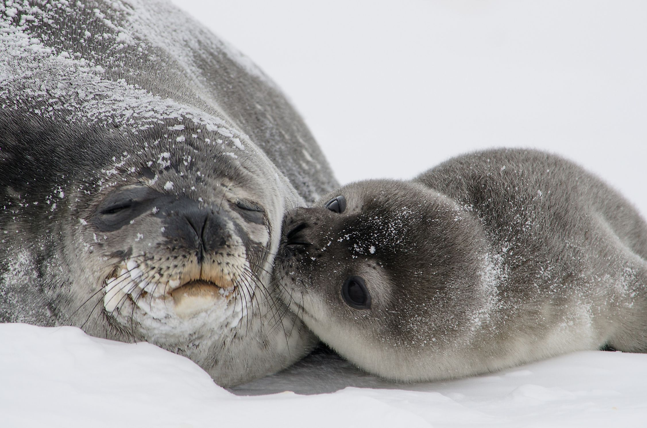Weddell Seals are highly social animals. They prefer to travel in packs and, when not migrating in search of food, they mostly sleep.