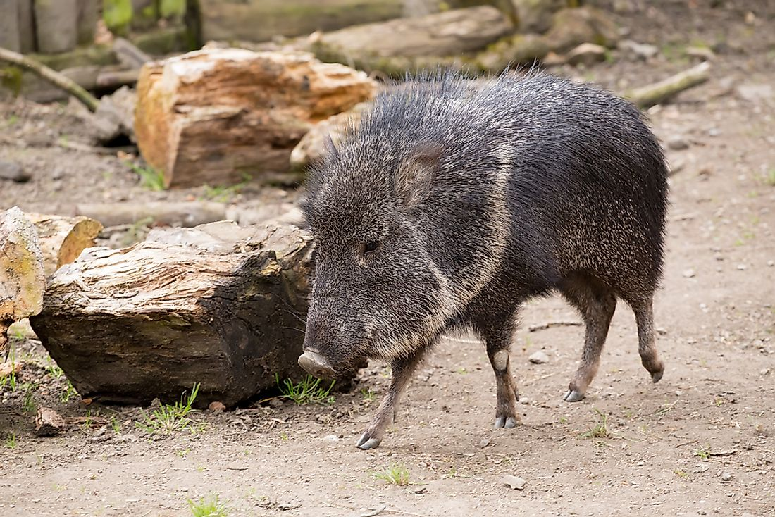 The Chacoan peccary or tagua is listed as an endangered species.