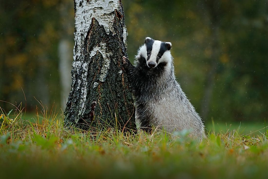 A European badger in a German forest.