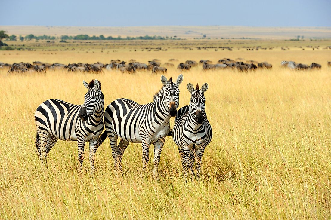 Zebras are found in many protected parks across Africa.