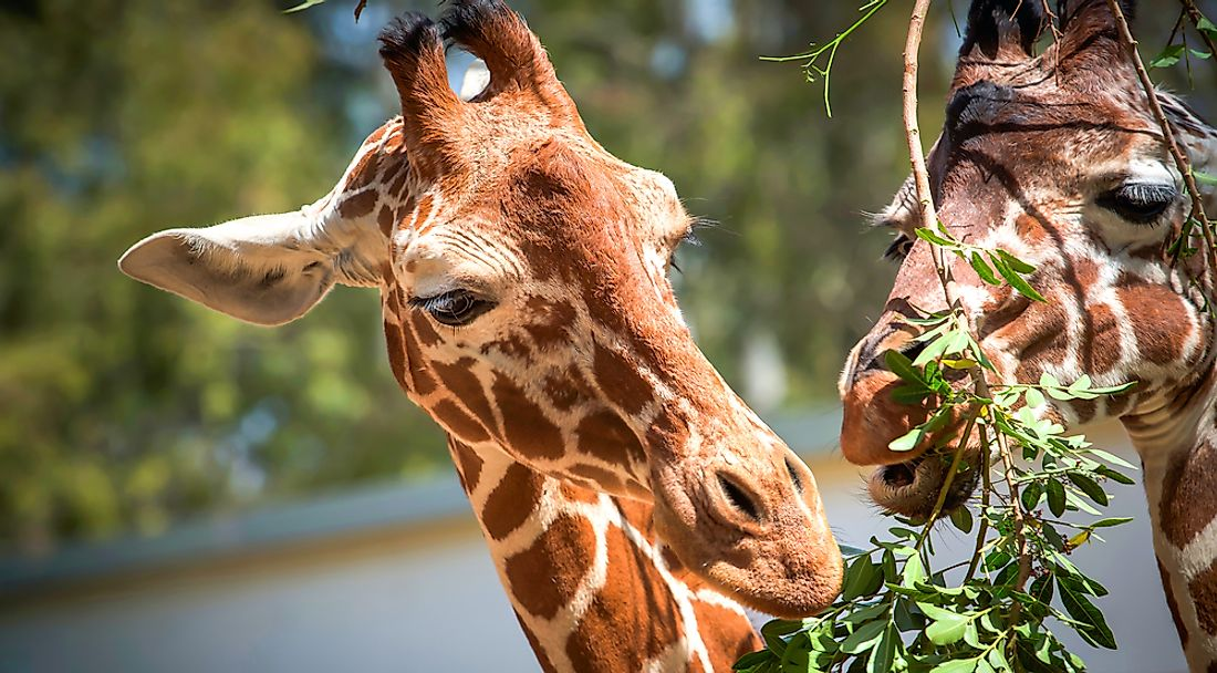 10 Animals Who Are Unlikely Herbivores - WorldAtlas.com