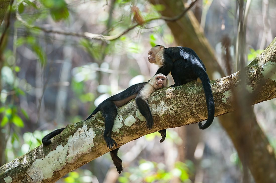 White-Faced Capuchins (Cebus capucinus) is a New World monkey native to Central America.