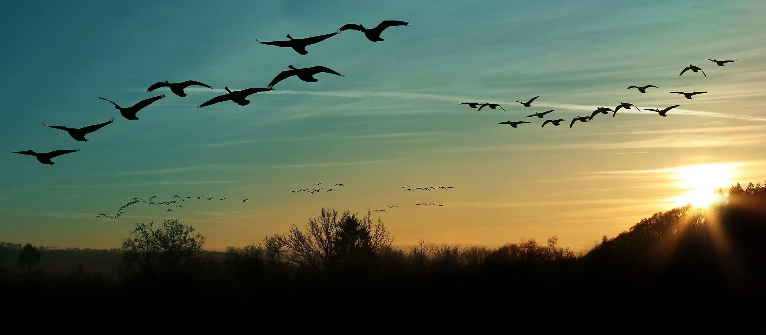 Migrating Canada geese. Image credit: zizar/Shutterstock