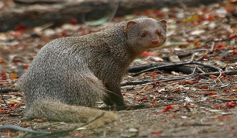 mongoose proliferation and control across hawaiian islands Does hawaiian culture have any japanese influence the proliferation of japanese stores and businesses is still very much in evidence across hawaii island.