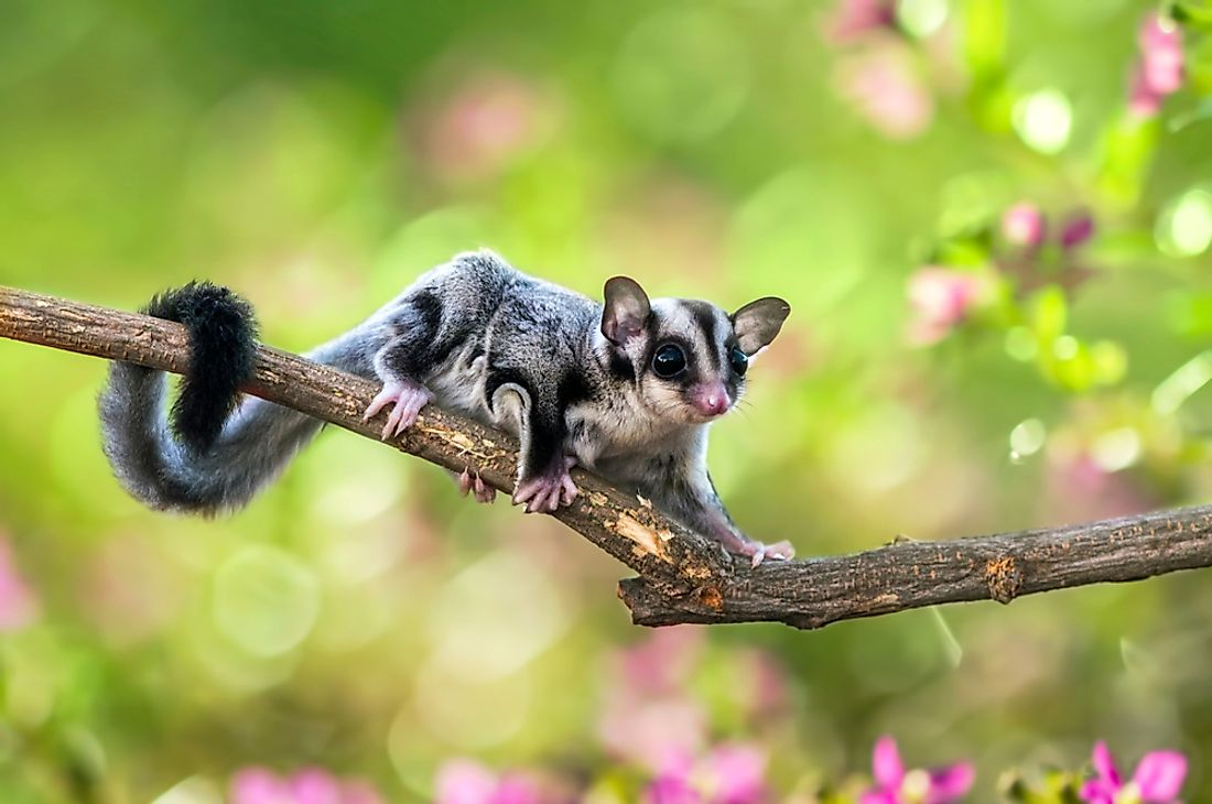 The sugar glider is one of Australia's unique animals.