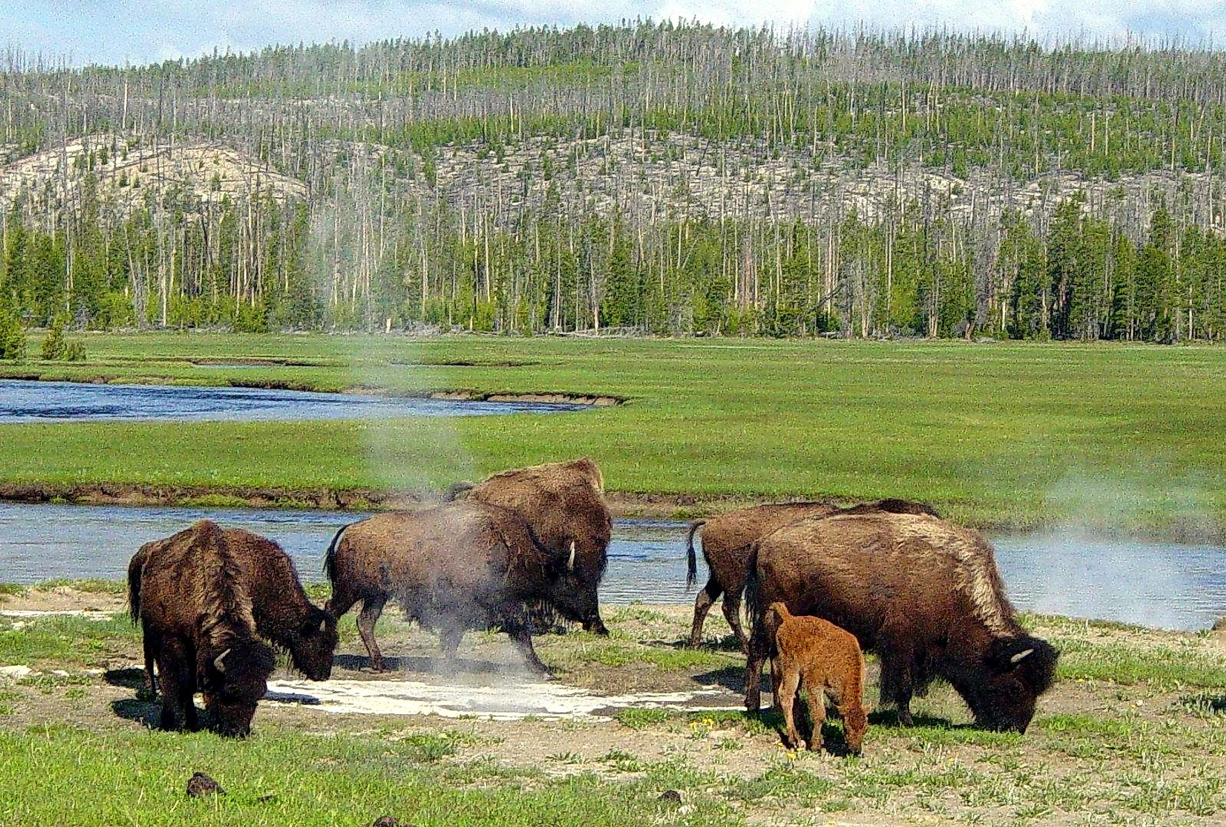 Bison Grazing Near a Hot Spring in the Yellowstone National Park