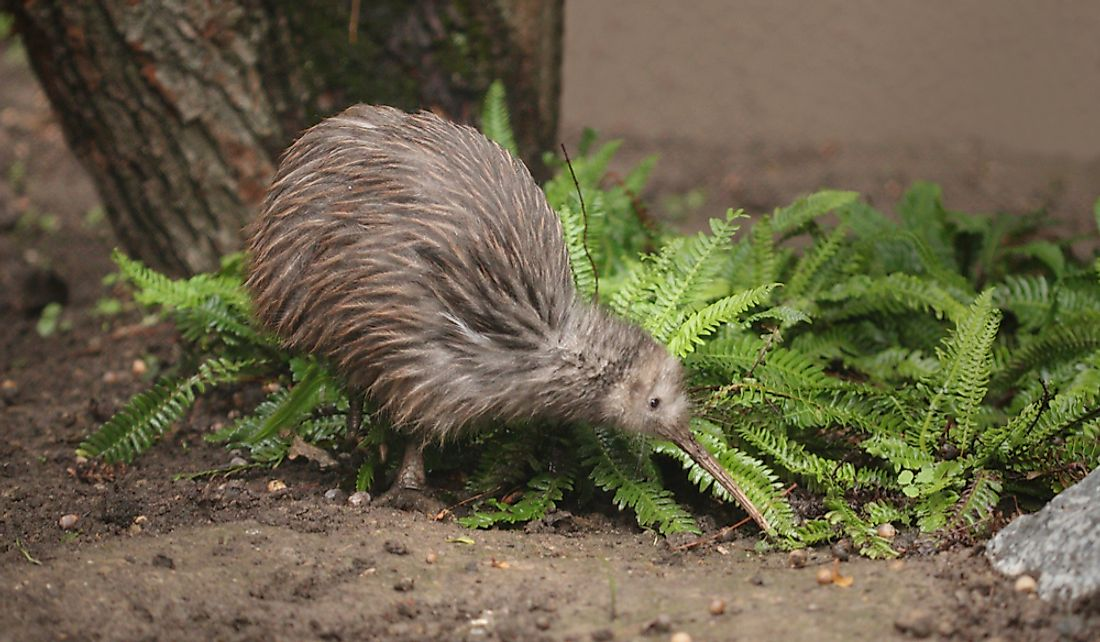 New Zealand Wildlife Which Animals Are Found Only In New Zealand Worldatlas