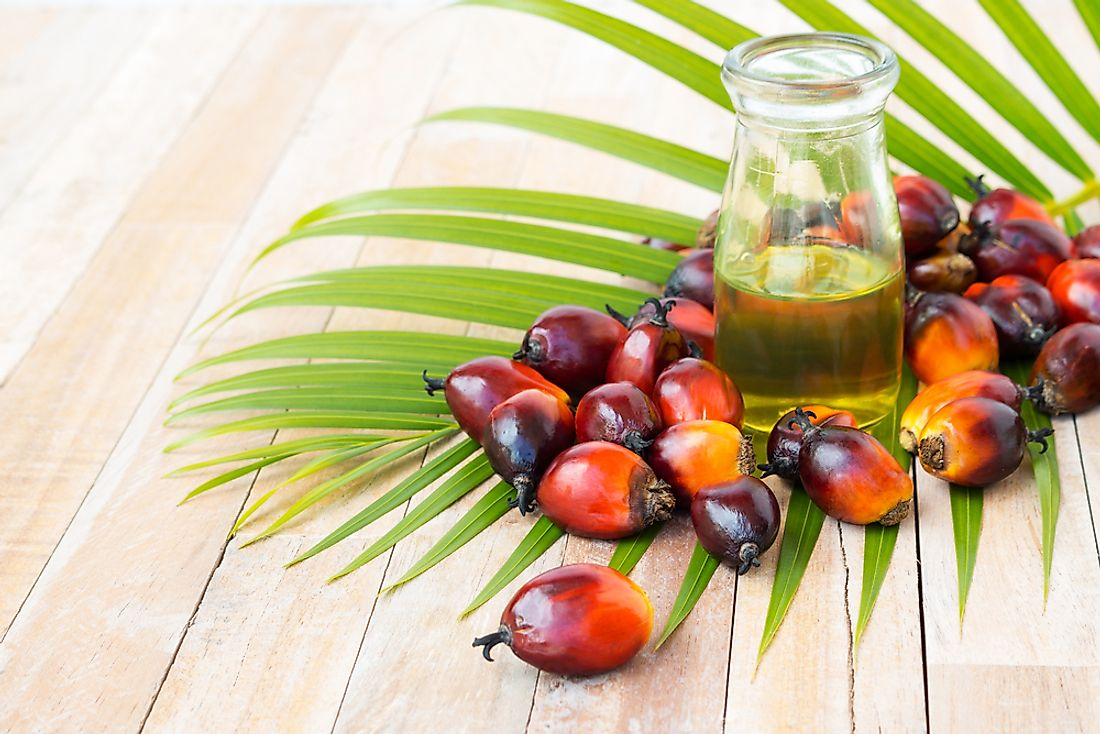 Palm oil is processed from the fruit of the oil palm tree.