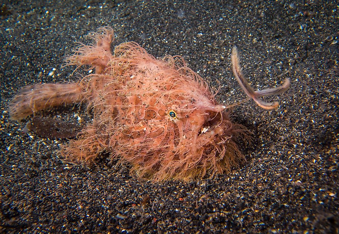 The striated frogfish is covered in what resembles hairs, thus its nickname, the hairy frogfish.