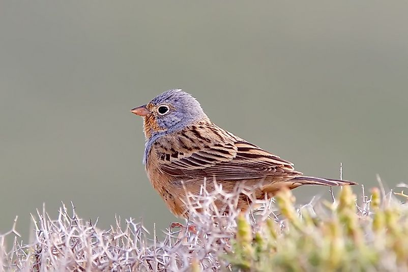 The Cretzschmar's Bunting spends its summer in the Mediterranean and journeys to Chad to overwinter.