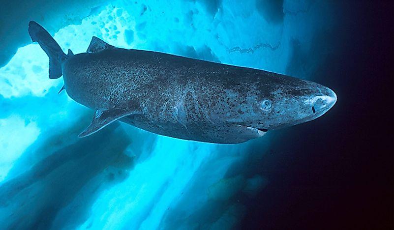 worldatlas.com/upload/68/1f/f7/greenland-shark.jpg