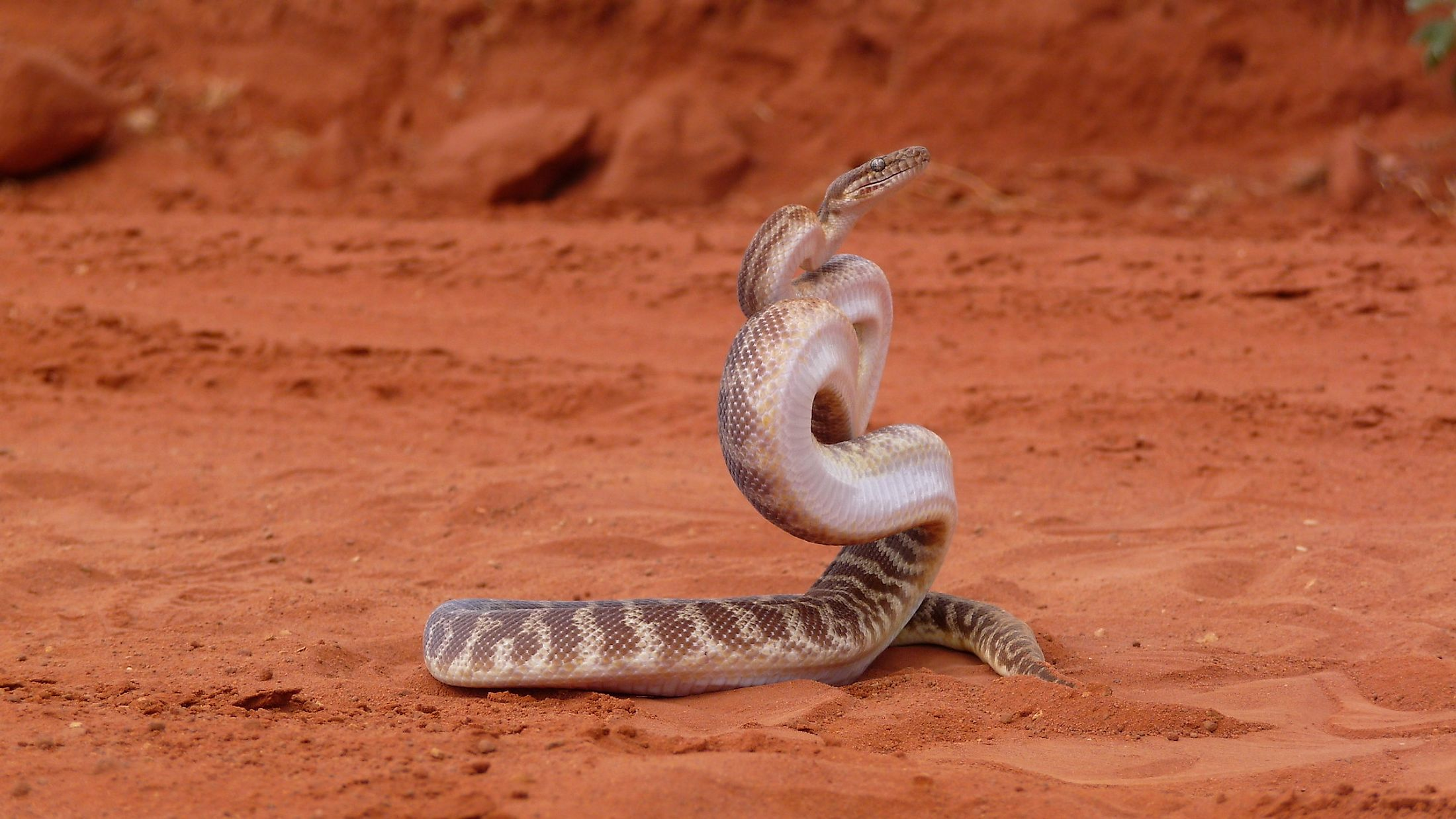 A Stimson's Python strikes a defensive pose in the Australian outback. Image credit: Chris Watson/Shutterstock.com