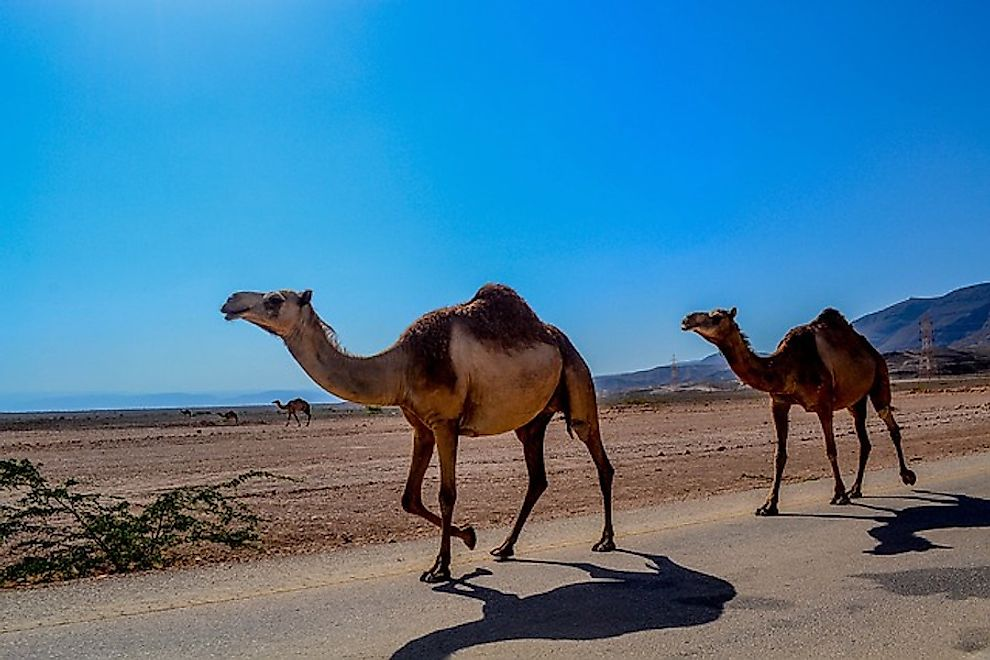 Camels running along a desert road.