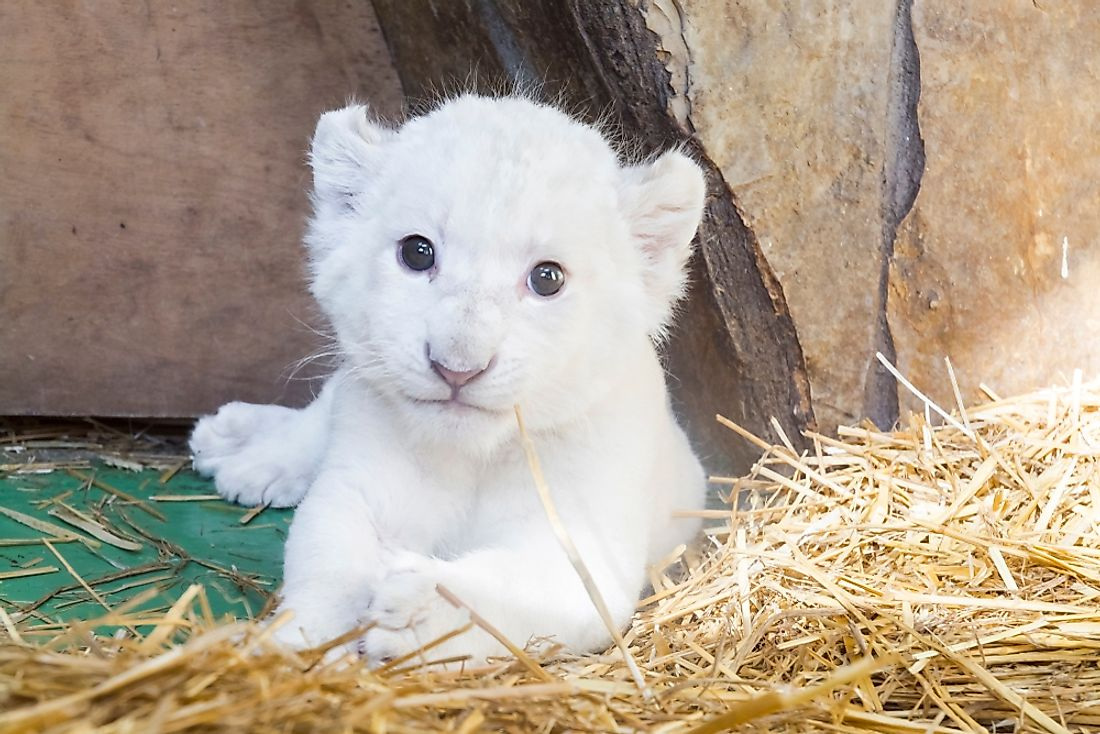 White lion cub born at a zoo.