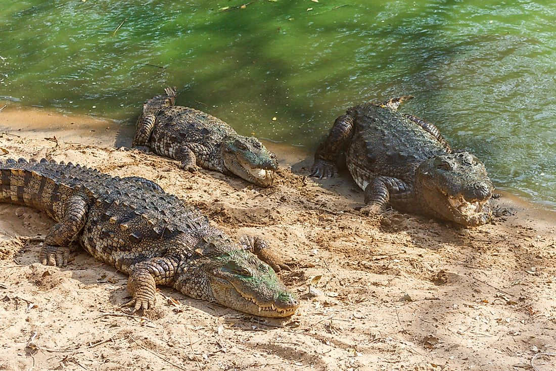 Crocodiles such as these can be found in India's freshwater.