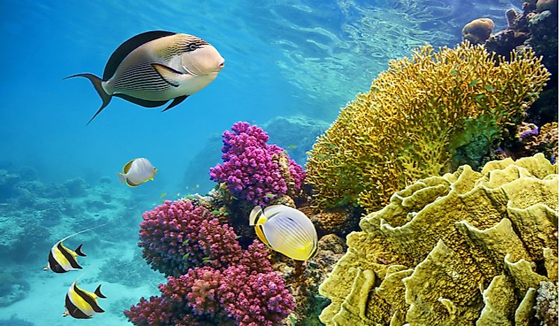 Fish swimming around the Coral Reef in Egypt.