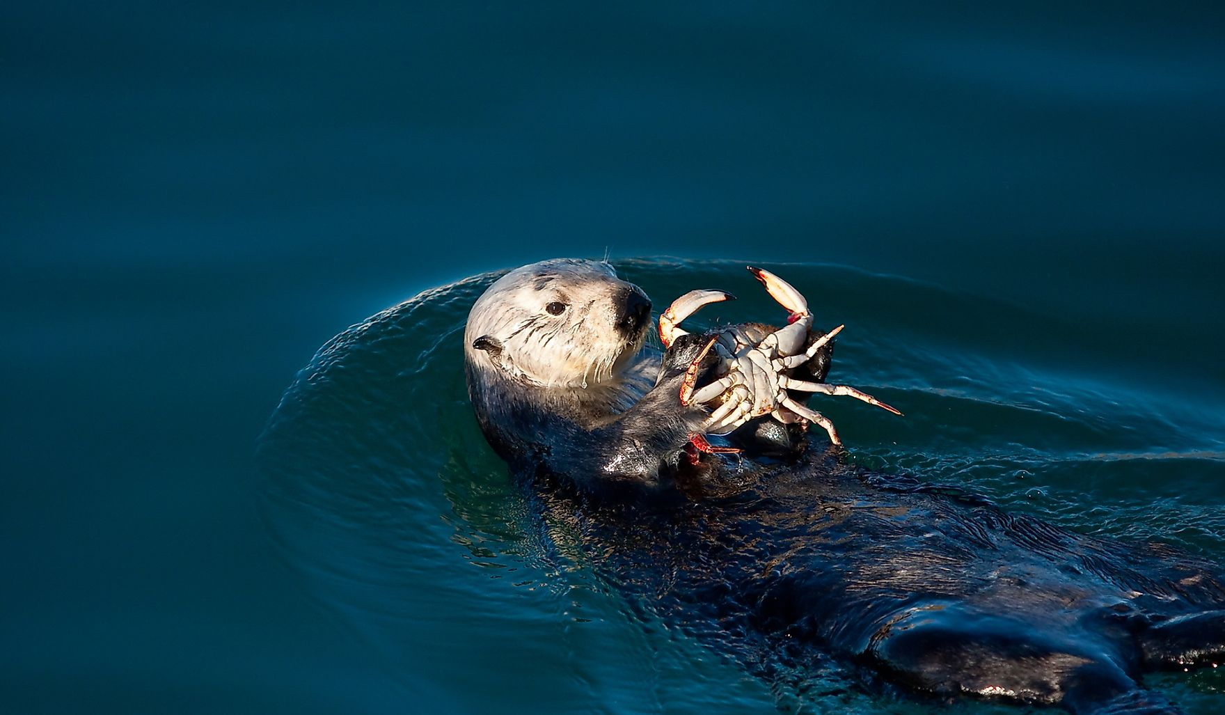 Sea otter eating a crab in Morro Bay.