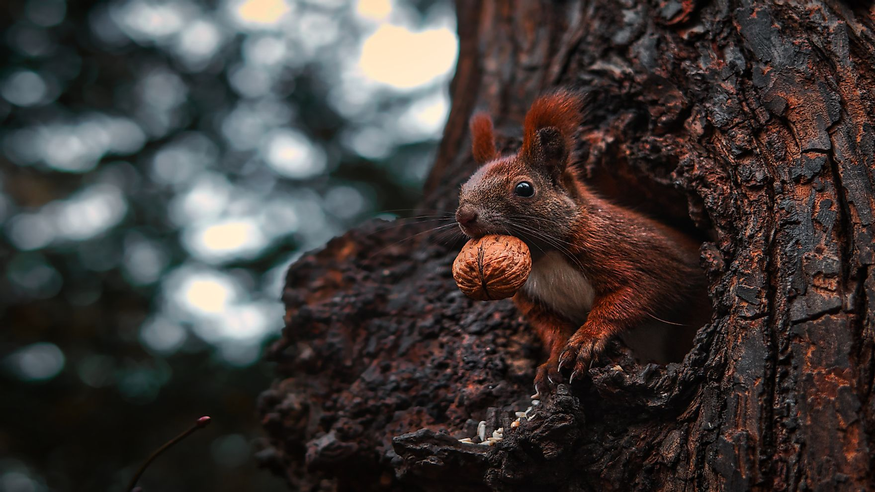 A red squirrel hoarding nuts in a tree hollow.