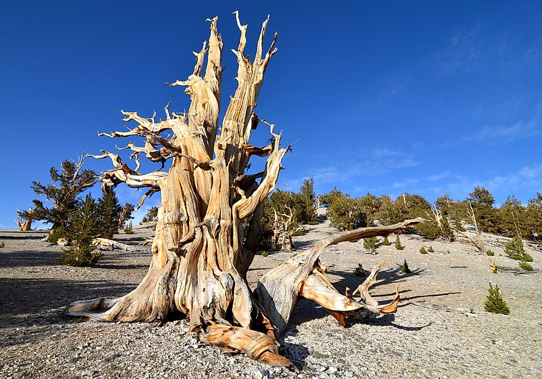 Californian trees, like the one pictured here, are among the world's oldest.