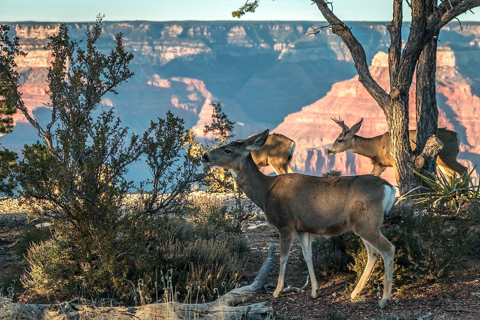 A herd of deer in the Grand Canyon National Park. Image credit: Mucky38/Shutterstock.com