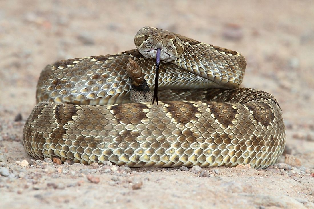 The Mojave rattlesnake has the most potent venom of all rattlesnakes.