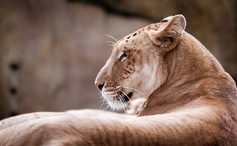 A tigon is the offspring of a male tiger and a female lion.
