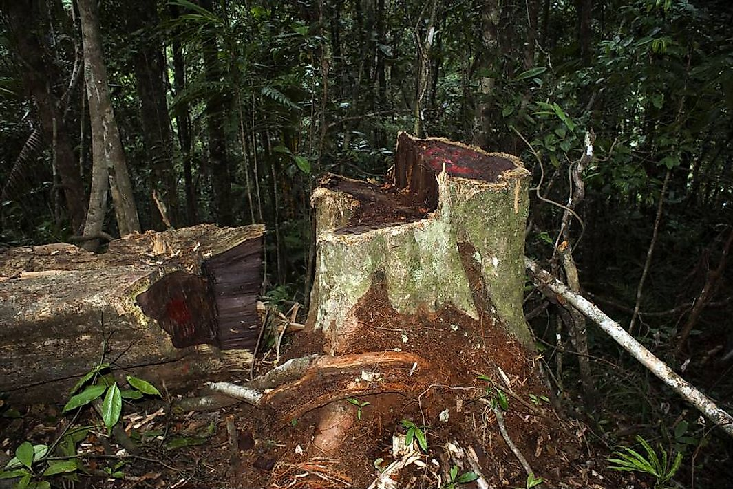 Stump of illegally logged rosewood from Marojejy National Park, Madagascar