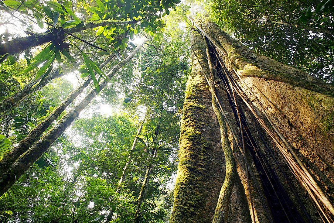 The large tree trunks of the Amazon Rainforest.