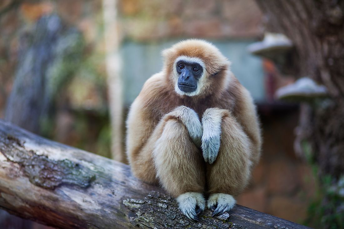 A gibbon is an example of an animal that starts with G.