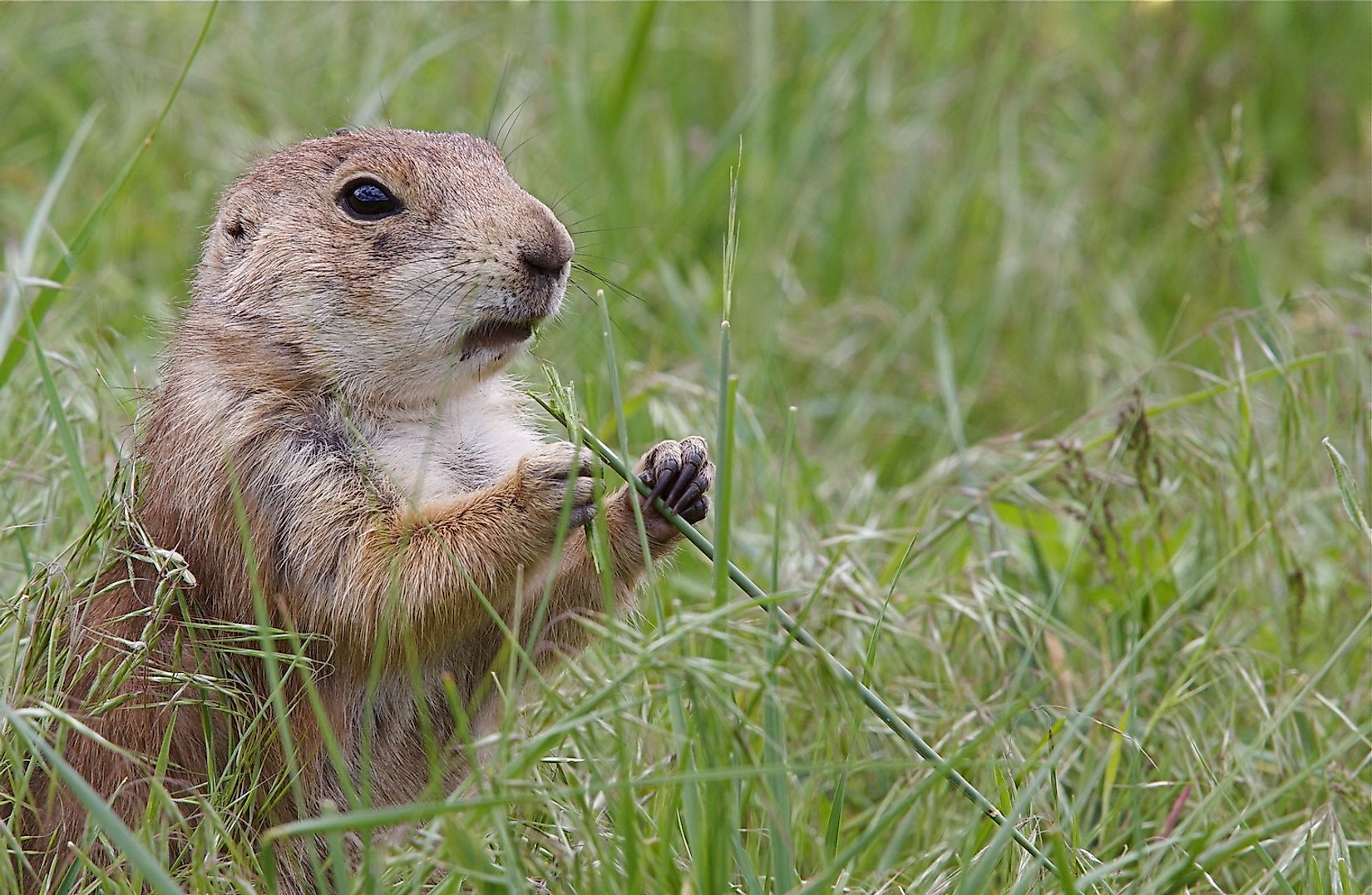 Black Tailed Prairie Dog feeding. Image credit: Tom Reichner/Shutterstock.com