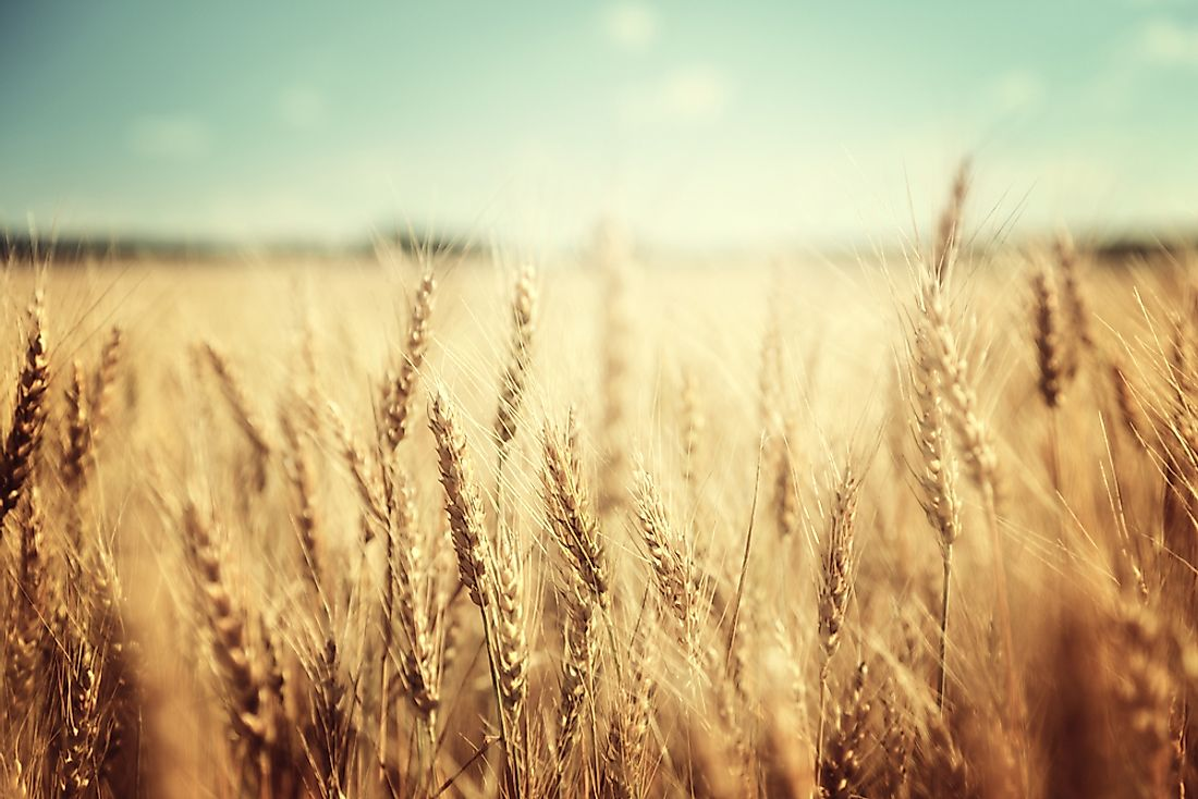 A wheat field.