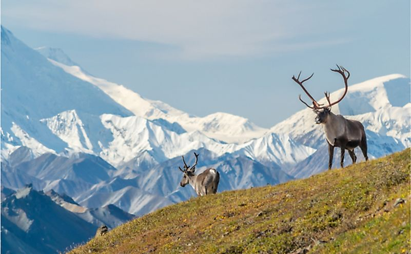 Majestic caribou bull in front of Mount Denali.