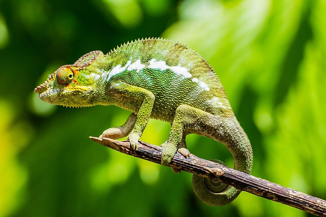 Chameleons are known for their ability to change colors.